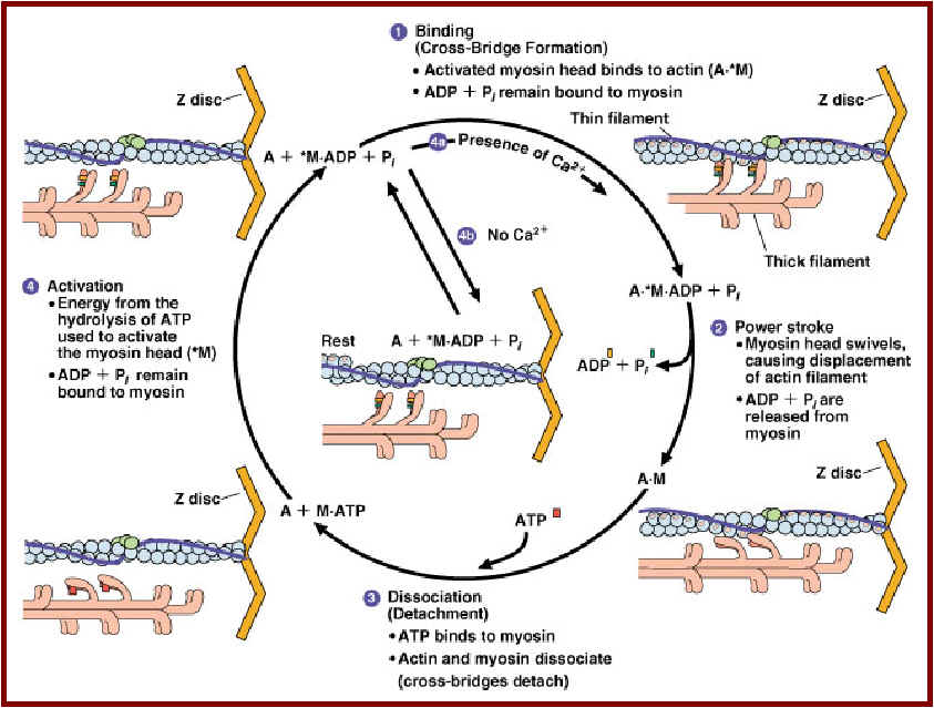 the sliding filament theory of actomyosin relationship occurs in